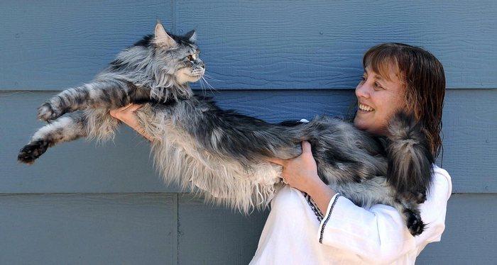 самый большой кот в мире порода мейн кун фото цена