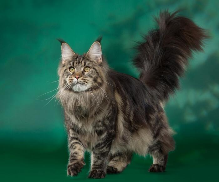 красивые кошки мейн кун