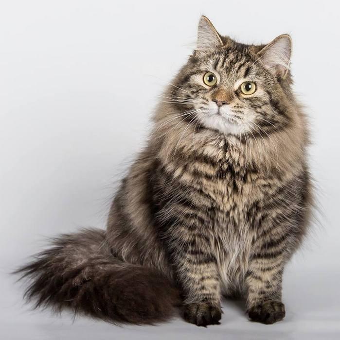 Похожие породы кошек