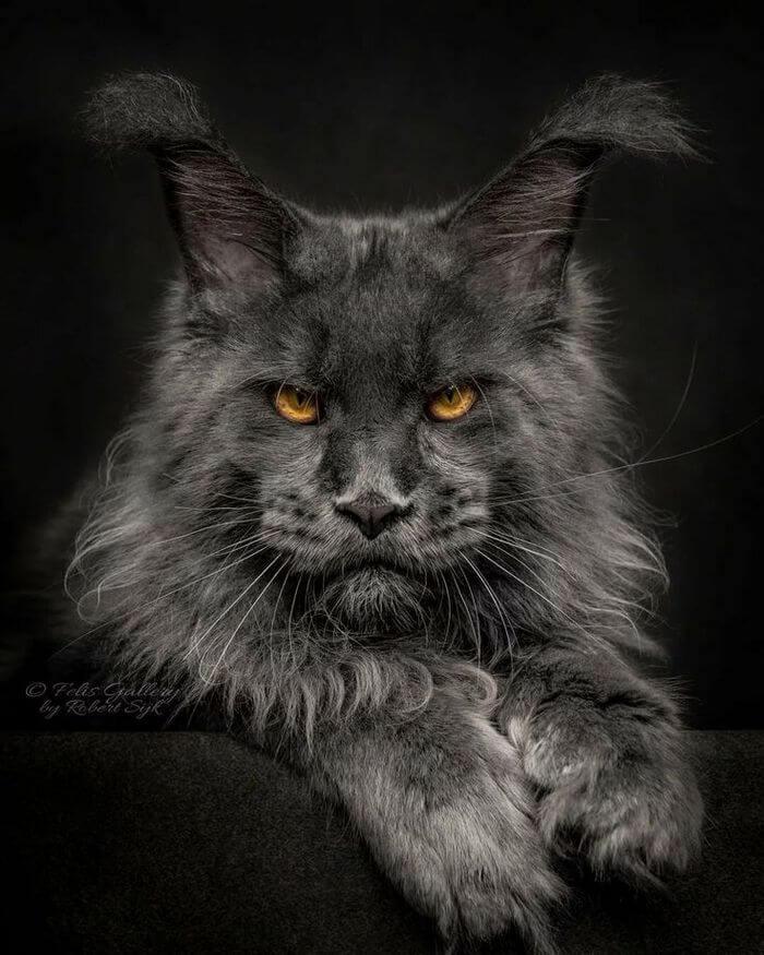 фото кошек мейн кун фото